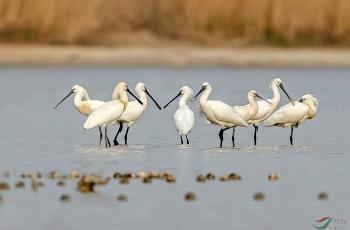 琵琶鹭迁徙途经盐湖提前了半个月