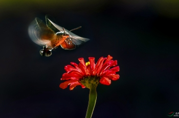 花儿与天蛾(祝贺老师贺获图文精华)