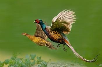 在天愿作比翼鸟