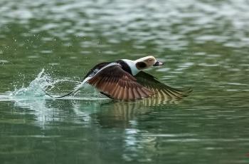 《起航》----长尾鸭(祝贺老师佳作荣获鸟网首页鸟类精华)