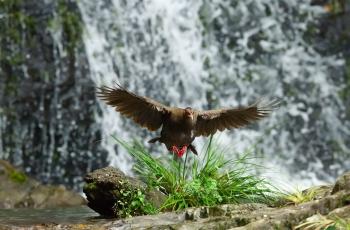 飞流直下----! (贺获鸟类精华)