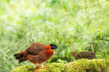 红腹角雉(祝贺荣获首页鸟类精华)