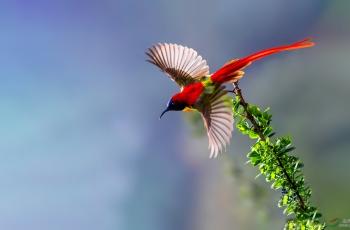 火尾太阳鸟-你红的真好看