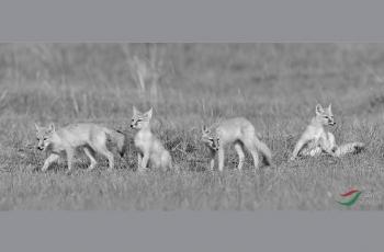 四个小沙狐------祝贺荣获首页黑白影像精华!!!