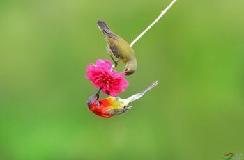 蓝喉太阳鸟------哥妹共赏  (贺获鸟类精华)