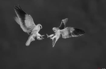 黑翅鸢------祝贺荣获首页黑白影像精华!!!