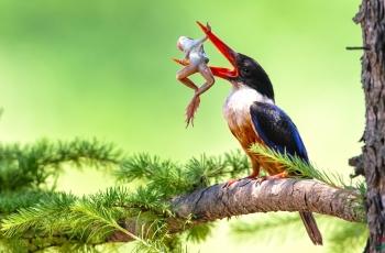 舌尖上的青蛙(祝贺荣获首页鸟类精华)
