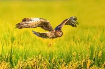 《寻觅》-----白尾鹞(祝贺荣获首页鸟类精华)