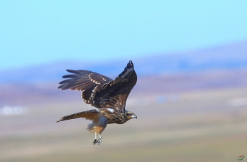 飞向远方---黑鸢 (贺获鸟类精华)