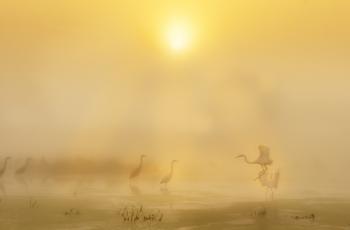 仙境之鹭---迷雾中的白鹭