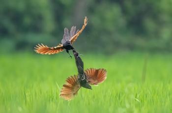 """中国鸟网2020年首届""""黄腹角雉杯""""国际观鸟摄影大赛故事组获奖作品"""
