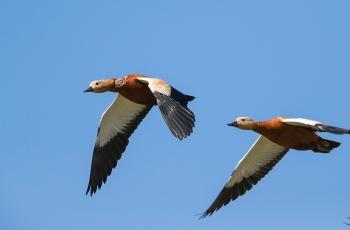 赤麻鸭------伴飞 (贺获鸟类精华)