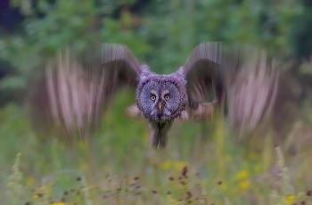 慢门乌林鸮!