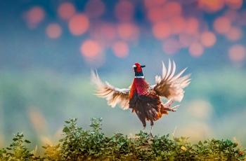 红鸡斗翅跳晨舞。