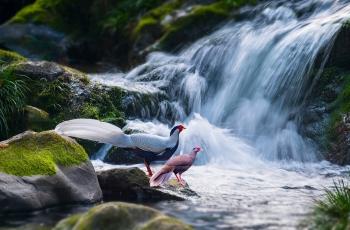 溪水边的情侣(祝贺荣获鸟类精华)