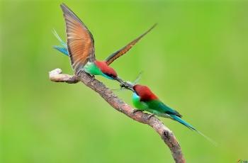 《蓝喉蜂虎》—中国最漂亮的小鸟之一