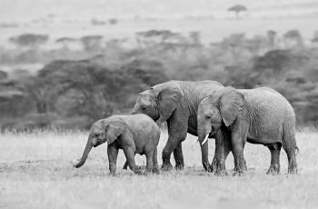 非洲象一家子------祝贺荣获首页黑白影像精华!!!