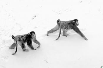 信步踏雪的金丝猴