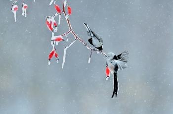 飞雪嬉冬枝