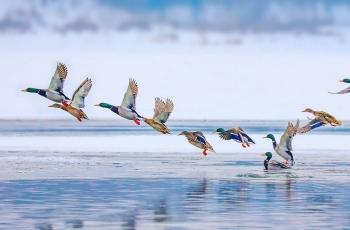 冰河飞鸭(祝贺荣获首页鸟类精华)