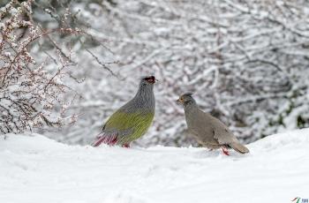 雪中情侣~~~贺图获《首页鸟类精华》