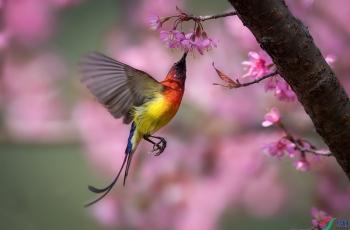 蓝喉太阳鸟(祝贺荣获首页精华)