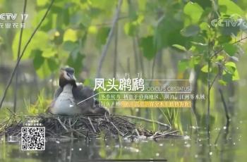凤头鸊鷉——祝贺摄影师春晓拍摄的素材被央视17台采用