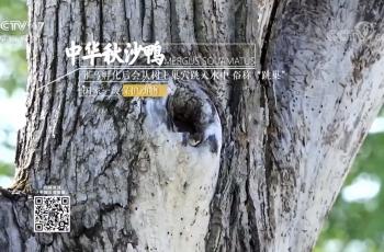 中华秋沙鸭——祝贺长春小马拍摄的素材被央视17台采用