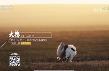 大鸨——祝贺白明、何平两位摄影师拍摄的素材被央视、:17台采用