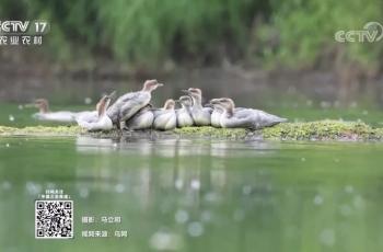 中华秋沙鸭——祝贺长春小马哥的素材在央视农业农村频道播出