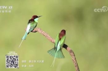 祝贺刘庆建、飞天虎蓝喉蜂虎视频素材央视农业频道播出
