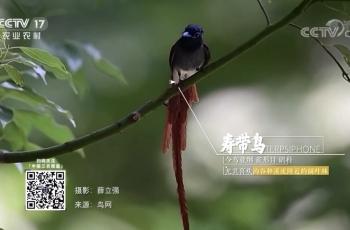 祝贺飞天虎拍摄寿带鸟素材在央视农业频道播出