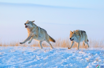 《奔》—— 草原狼~~~贺图获《首页动物精华》