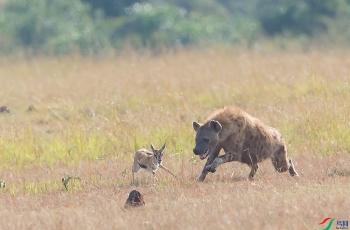 追捕---祝贺荣获野生动物首页精华!
