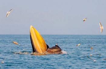 布氏鲸的大餐(获首页动物精华)