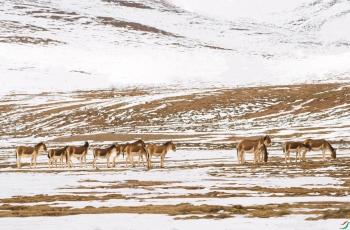 《大家庭--藏野驴》---- 祝贺荣获野生动物首页精华!