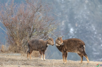 相约在雪花纷飞中---喜马拉雅斑羚----贺获首页动物精华!!!