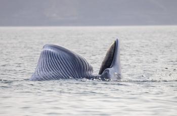 布氏鲸-拍摄于涠洲岛海域