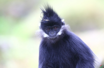 黑叶猴特写(祝贺荣获首页动物精华)