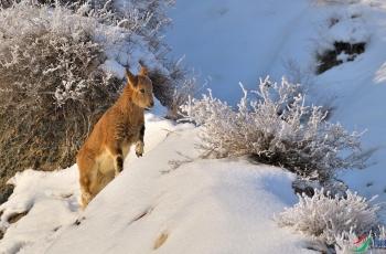 萌娃踏雪觅食 --- 祝贺荣获动物首页精华!