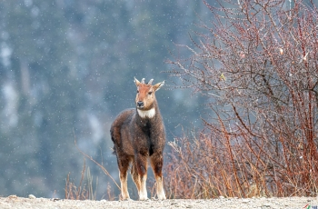 赤斑羚(祝贺荣获首页动物精华)