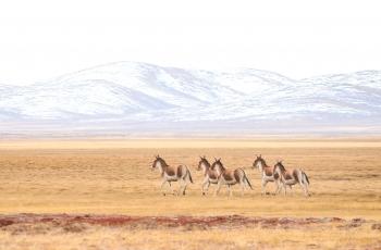 《藏野驴》 ---  祝贺荣获野生动物首页精华!