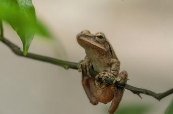 树蛙 --- 祝贺荣获野生动物首页精华!