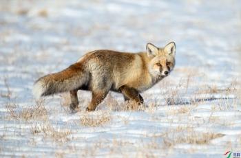 狐狸  ---- 祝贺荣获野生动物首页精华!