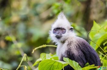 <怒视》——白头叶猴 --- 祝贺荣获野生动物首页精华!