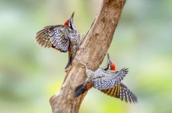 林鸟啄木鸟《荣获每日一图》
