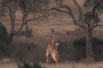 枯树细枝嫩芽绽、正是谈情好时节---长颈鹿--------贺荣获每日一图