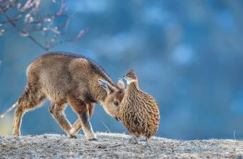 你是那家的妹妹?---赤斑羚~~~贺图获《首页鸟类精华》