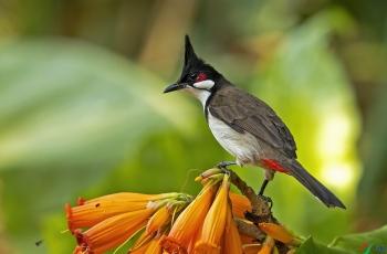 红耳鹎、长嘴捕蛛鸟、纹背捕蛛鸟