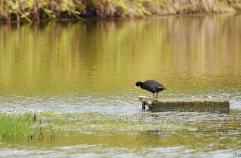 金色池塘 (自由诗)